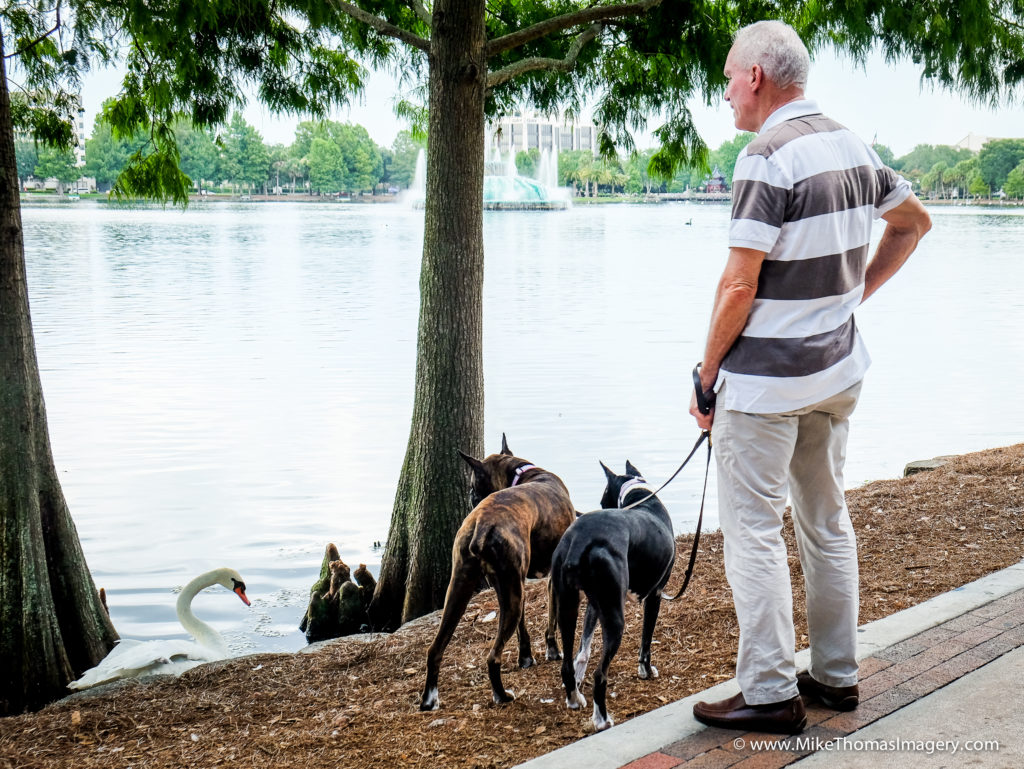 dogs, dog walk, swans, lake eola, ornaod, florida, nature, wildlife,