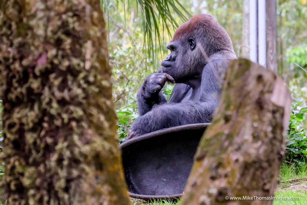 gorilla, monkey, ape, disney, animal kingdom, nature, wild animals