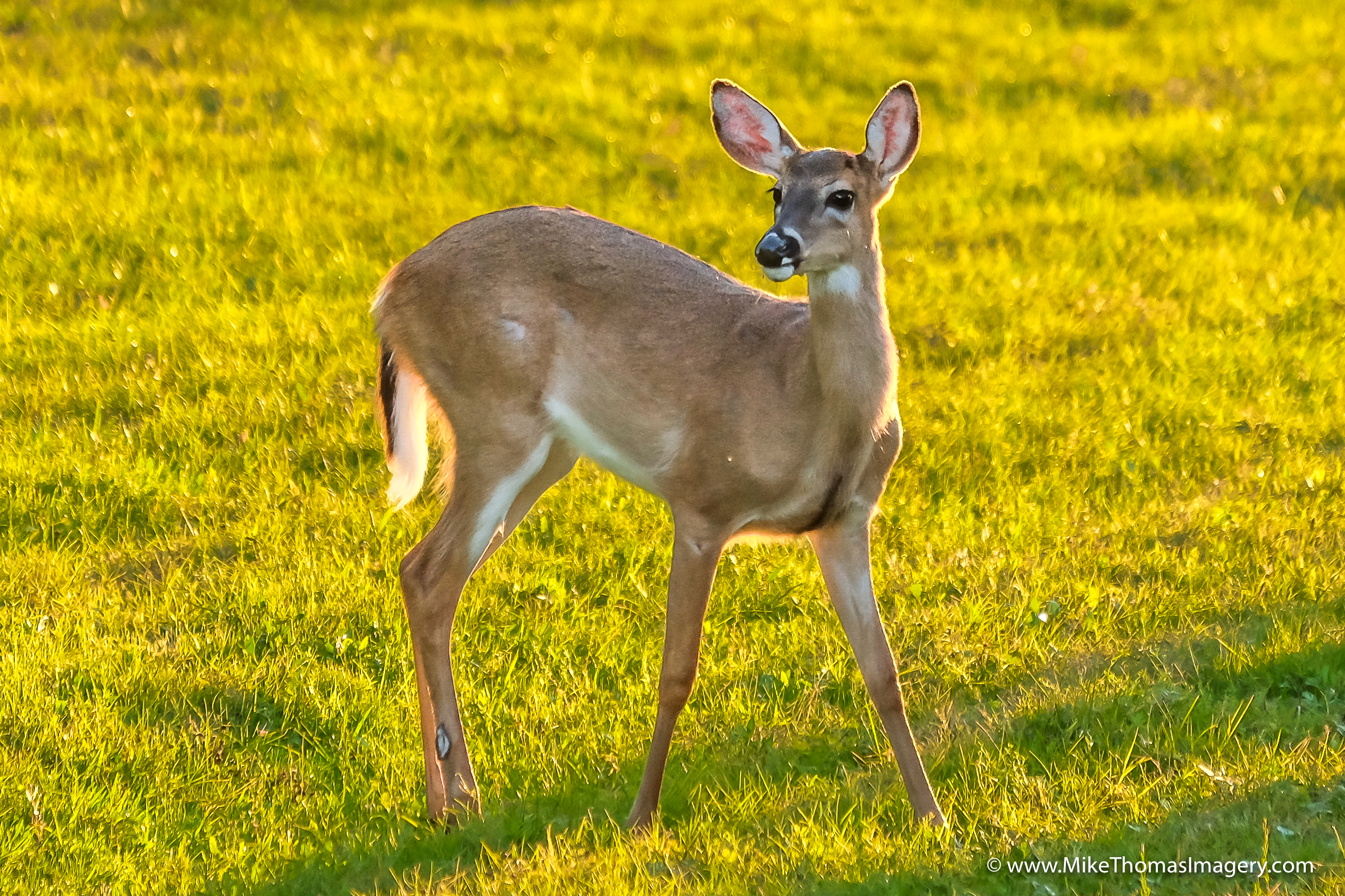 deer, bambi, wildlife, herd, disney, fort wilderness, nature