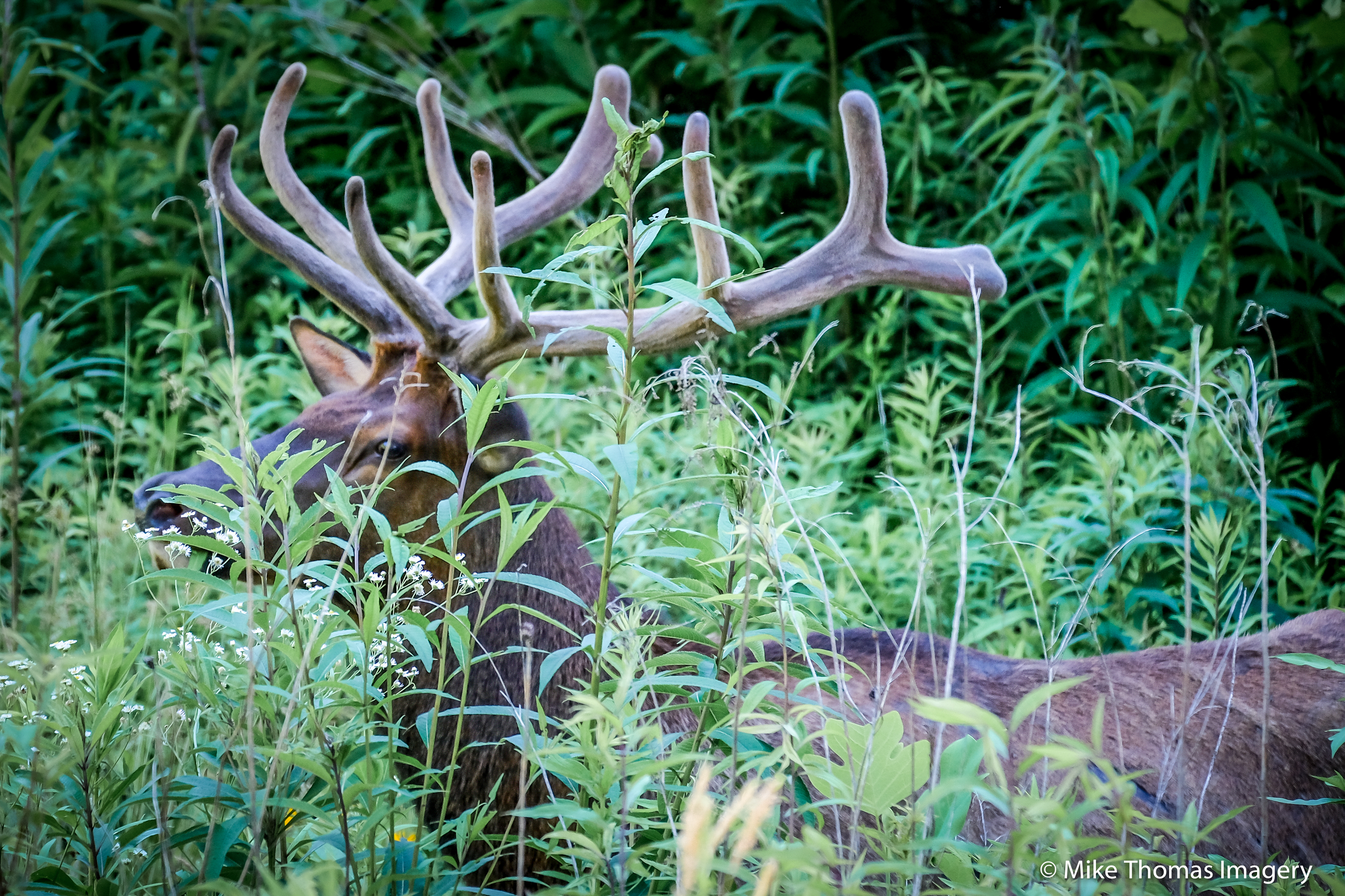 great smoky mountains, smoky mountains, cases cove, wildlife, nature, deer, elk, moose
